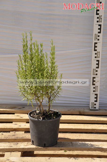 Rosmarinus officinalis 3lt - Modagri Plants
