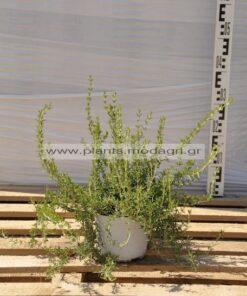 Rosmarinus prostratus 2,5lt - Modagri Plants