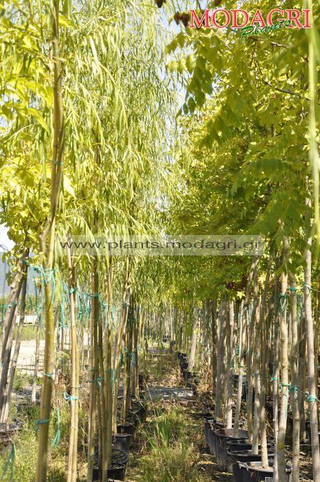 Salix 2,5-3m 15lt - Modagri Plants