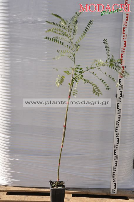 Sophora japonica - Modagri Plants