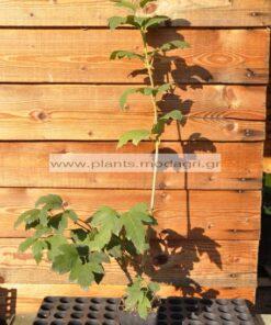 VIBURNUM_OPULUS_MODAGRI_PLANTS