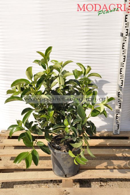 Viburnum lucidum 7lt - Modagri Plants