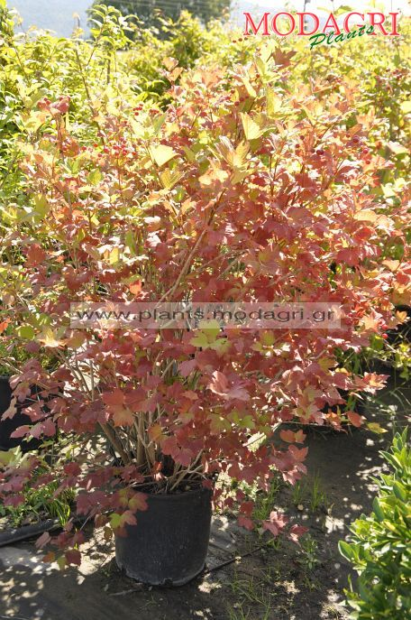 Viburnum opulus, burdowodi mix 30lt 1,50cm 30lt - Modagri Plants