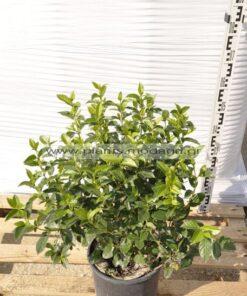 Viburnum tinus 4lt - Modagri Plants