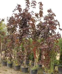 acer crimson king - Modagri Plants