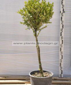 Buxus faulkner stem mini 9lt - Modagri Plants
