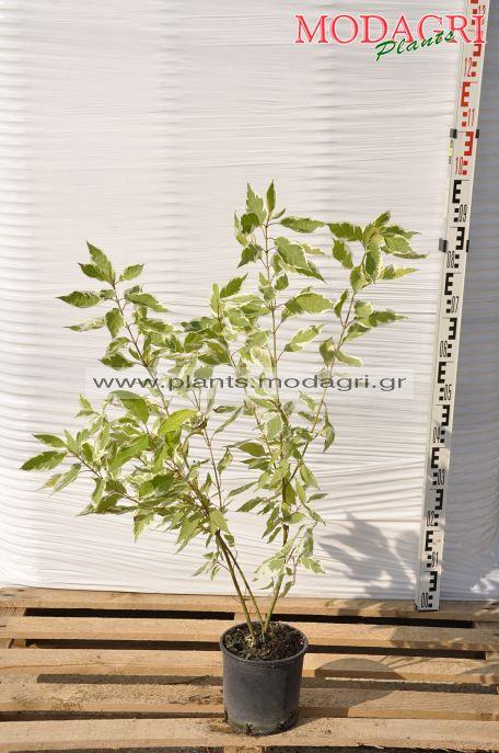 cornus variegata 3lt - Modagri Plants