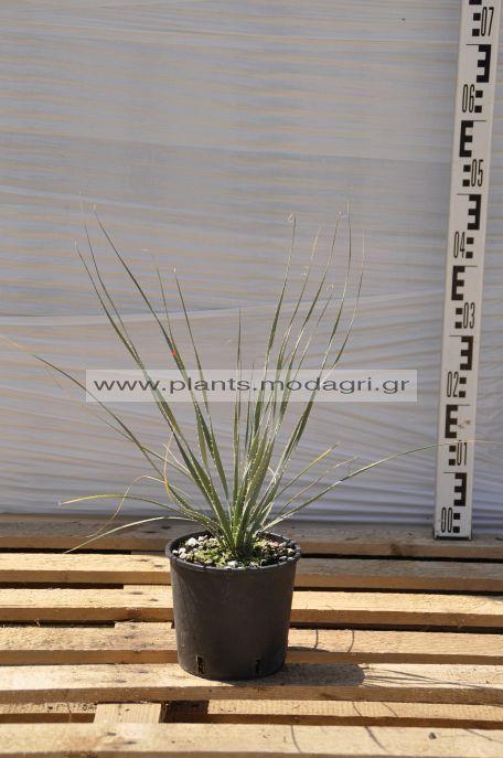 dasylirion - Modagri Plants