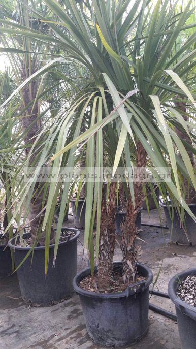 DRACENA/MODAGRI/PLANTS