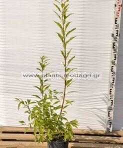 Φυτώριο Μόδι Θεσσαλονίκη Modagri Plants