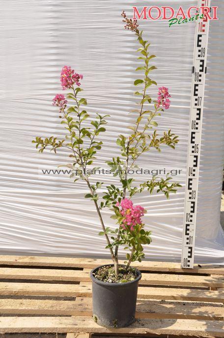 lagoestremia 3lt - modagri plants