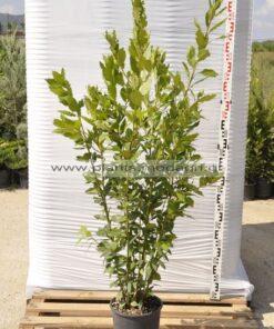 laurus nobilis 7lt - Modagri Plants