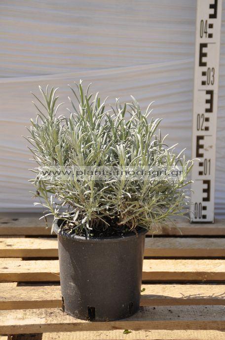 lavandula equisetifolia - Modagri Plants