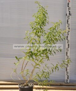 lippia - modagri plants