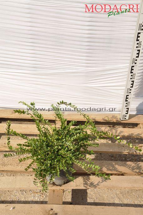 lonicera nitida 3lt - Modagri Plants