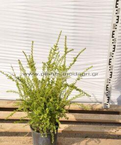 lonicera pileata 3lt - Modagri Plants