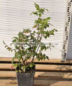 mahonia charity 3lt - Modagri Plants