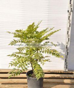 Mahonia charity 5lt - Modagri Plants