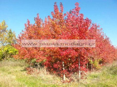 LIQUIDAMBAR/MODAGRI/PLANTS