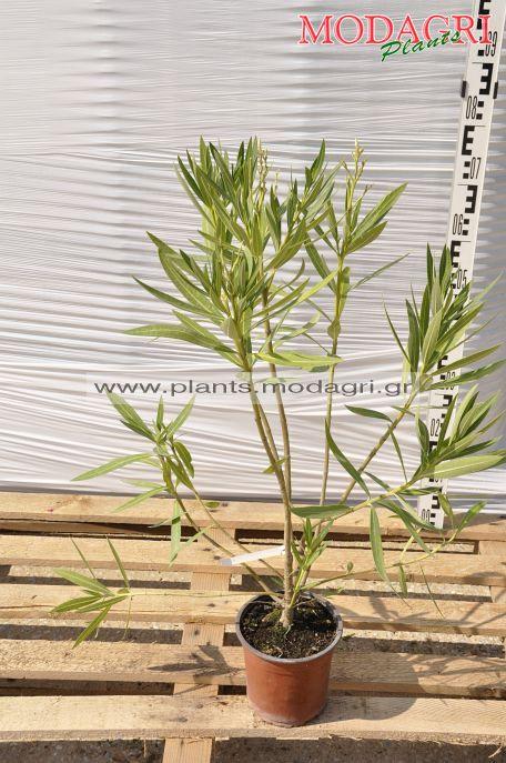 Nerium oleander 3lt - Modagri Plants
