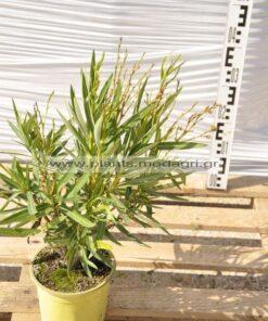 Nerium oleander yellow 3lt - Modagri Plants