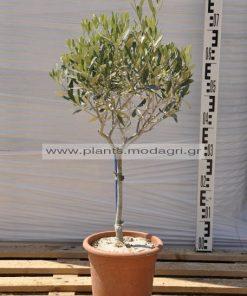 olea europea 4lt - Modagri Plants