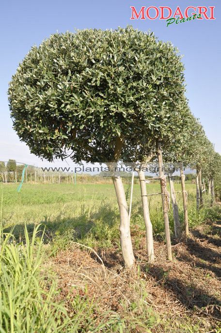 olea europea ball - Modagri Plants