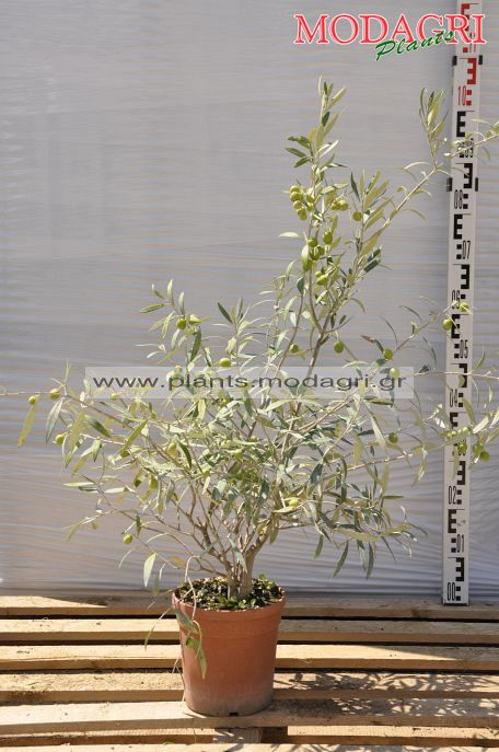 olea europea bush - Modagri Plants
