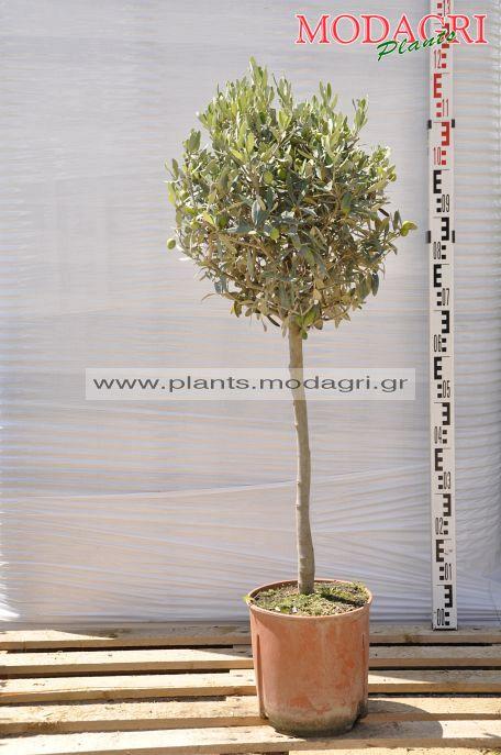 olea europea half tree , ball ,9lt - Modagri Plants