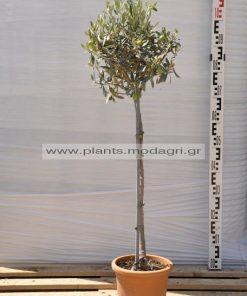 olea europea high stem 7lt - Modagri Plants