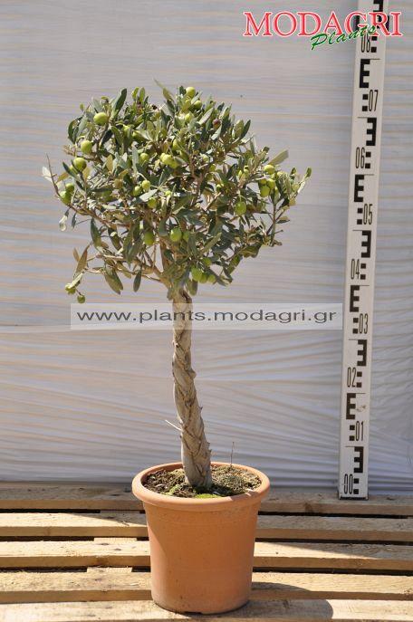 olea europea plex 5lt - Modagri Plants