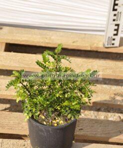 Pistacia lentiscus 3lt - Modagri Plants