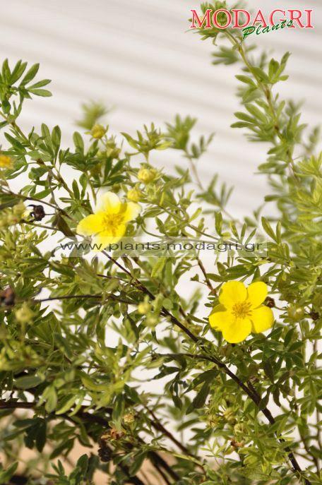 Potentilla - Modagri Plants