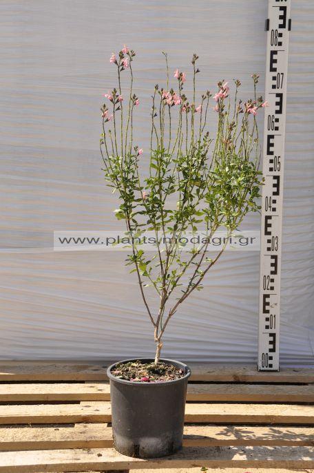 salvia greggii - Modagri Plants