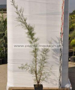 tamarix parviflora 3lt - Modagri Plants