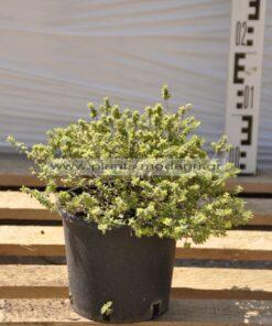 thymus vulgaris - Modagri Plants