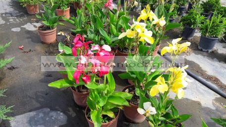 CANNA/MODAGRI/PLANTS